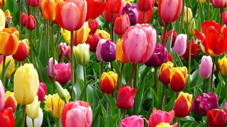 A field of Easter Tulips